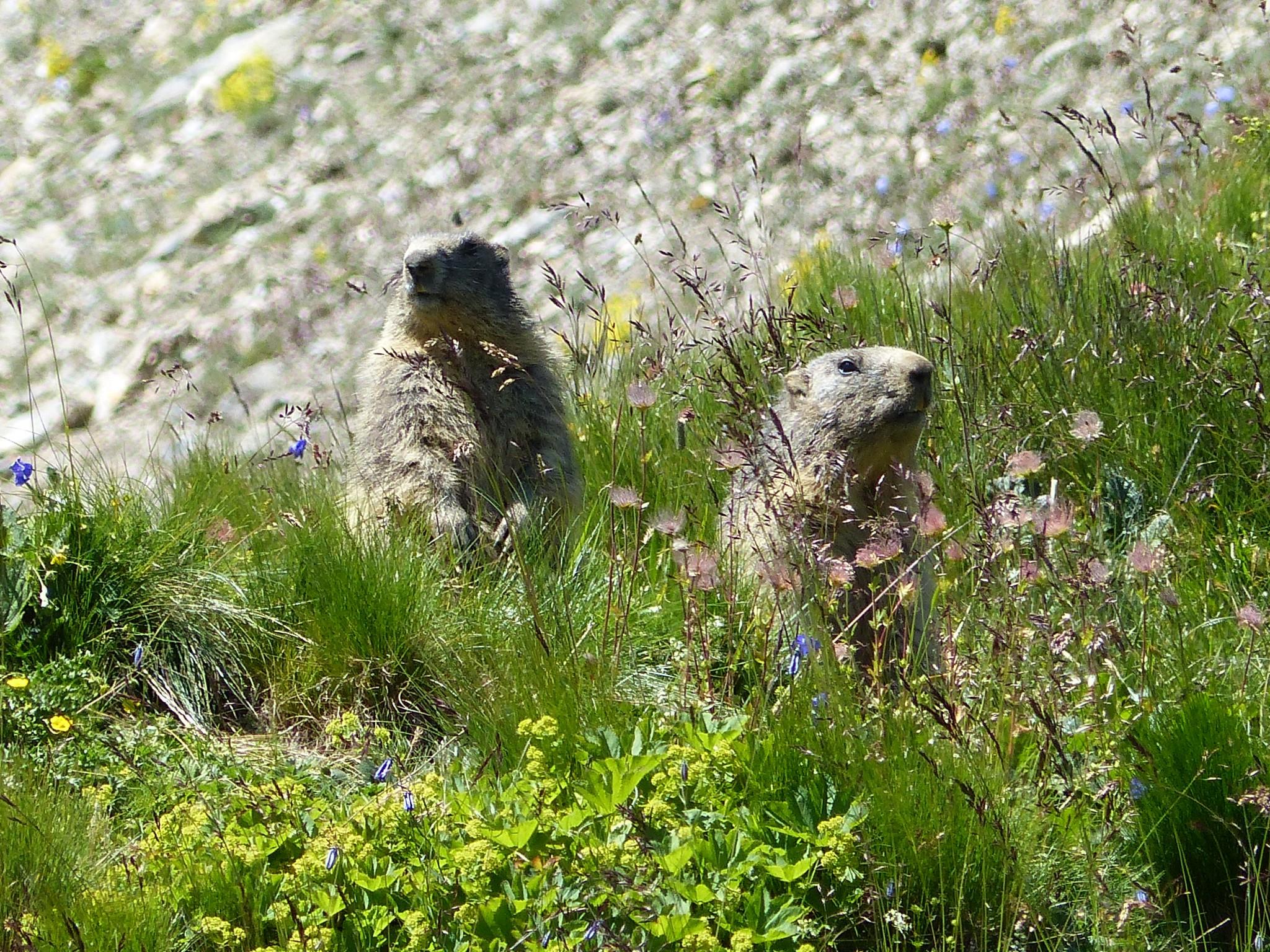 Quelques photos estivales, au pays des marmottes... Gallery_1137_2628_3735096